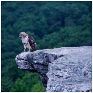 Beautiful shot of a hawk sitting on the edge of a rocky ledge with green mountain trees in background