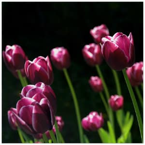Beautiful dark pink tulips with bright green stems against a dark black background