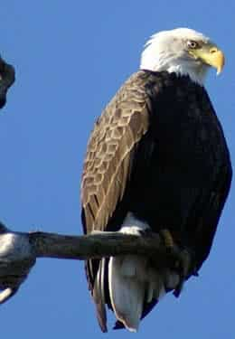 Close up of a bald eagle on the end of a branch and bright blue sky background.