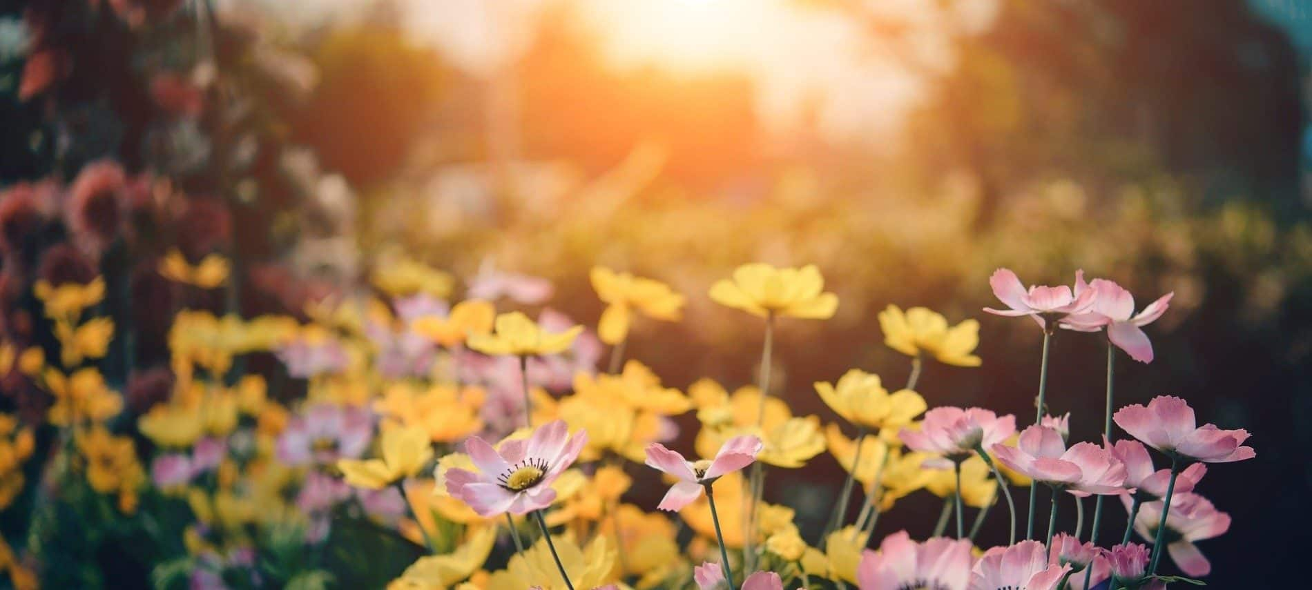 Landscaping full of little pink and yellow flowers with blurred sunlight in background