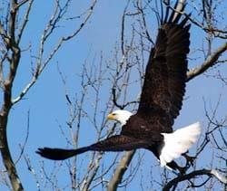 bald eagle taking offf from tree