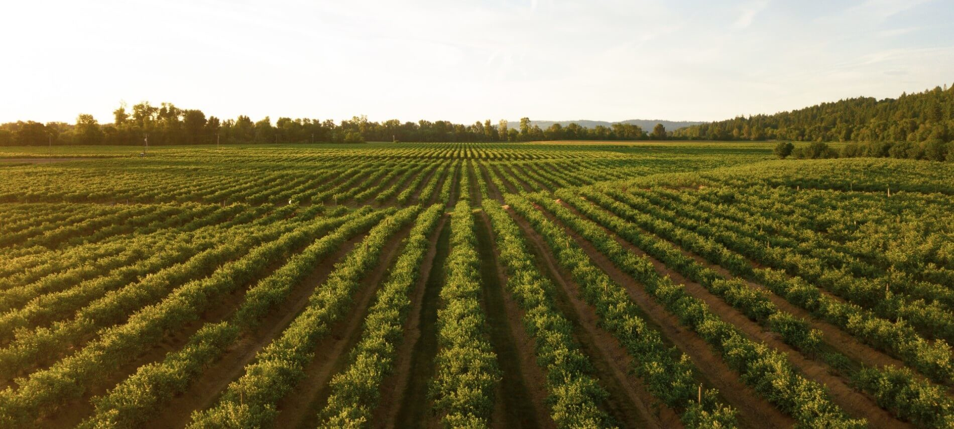 Wide open vineyard with row upon row of green trees under a blue sky